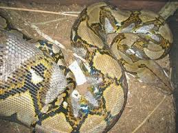 film ular phyton misteri ular makan manusia di kalimantan barat foseha info