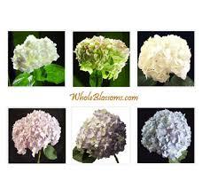 wholesale hydrangeas buy wholesale hydrangeas flowers for sale in bulk