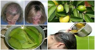 for hair guava leaves can stop hair loss and make it grow like