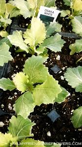 ornamental kale the benefits of perennial foliage plants in the