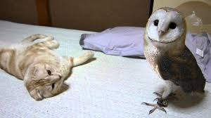 What Does A Barn Owl Look Like My Barn Owl And Cat Youtube