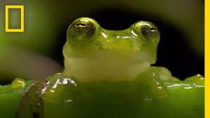the glass frog ultimate ninja dad animal 24 youtube