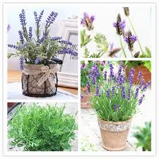Fragrant Potted Plants - lavender seeds french lavender seeds very fragrant natural growth