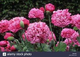double pink opium poppy papaver somniferum stock photo royalty
