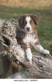 australian shepherd quad cities working sheep dogs stock photos u0026 working sheep dogs stock images
