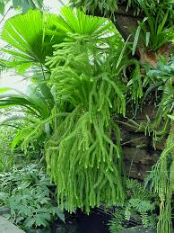 propagating australian native plants tassel ferns and clubmosses australian plant information