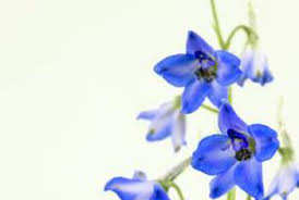 delphinium flower do delphinium flowers like lime home guides sf gate