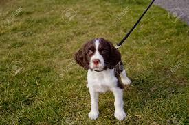young english springer spaniel puppy on a walk in the park stock