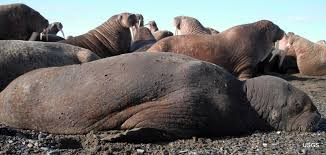 walrus on chukchi sea shores with skin lesions