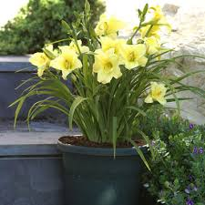 day lillies zyverden daylilies fragrant returns roots 3 pack 11321 the
