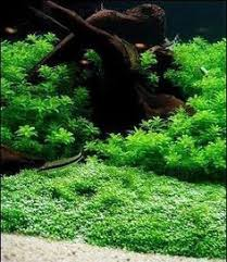 Aquascape Aquarium Plants How To Grow Aquatic Moss Wall Aquascape Aquarium Freshwater