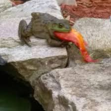 frog eating a goldfish from garden pond imgur