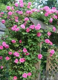 Climbing Plants For North Facing Walls - a rose by any other name u2026 and for any situation rare plant fair