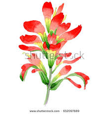 indian paintbrush flower indian paintbrush stock images royalty free images vectors