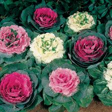 color up mix hybrid ornamental cabbage seeds