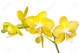 yellow orchid bunch of flowers beautiful yellow orchid isolated stock photo