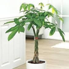 low light indoor trees indoor trees low light dcacademy info