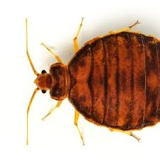 Bean Leaves Bed Bugs Don U0027t Let Hotel Bedbugs Ruin Your Vacation Health24
