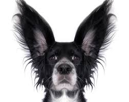 belgian shepherd ear problems if your dog is strained from having ear infections all the time