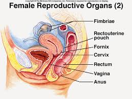 Female Anatomy Image Female Reproductive System