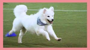 american eskimo dog training benefits of agility training for you and your dog u2013 polar the curious