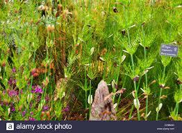 knoll nurseries ornamental grasses the rhs chelsea flower stock