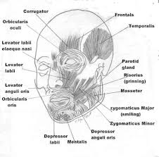 Orbicularis Oris Levator Anguli Oris Muscle Or Caninus Muscle Human Muscular System