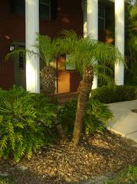 outdoor u0026 garden charming robellini palm tree for home