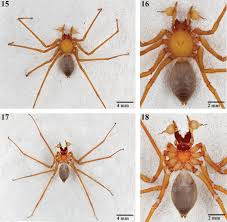 an extraordinary new family of spiders from caves in the pacific