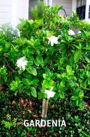 52 best shrubs images on pinterest shrubs garden plants and