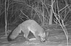 gray fox caught by camera trap