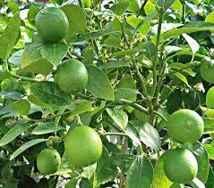 key lime tree white flower farm