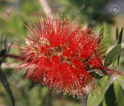 australian natives plants native plants stock photos u0026 pictures royalty free native plants