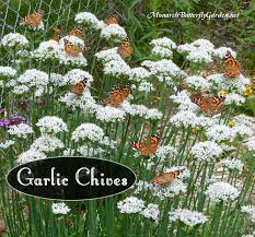 native plants of massachusetts butterfly plants list butterfly flowers and host plant ideas
