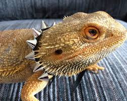 cared bearded dragons pamperedbeardies