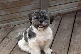 shih tzu with curly hair 7 surprising shih tzu puppies mix that best gift for your love ones