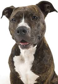 american pitbull terrier types american pit bull terriers what u0027s good and bad about pit bulls