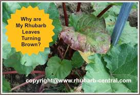 Why Are My Plants Turning by Why Are My Rhubarb Leaves Turning Brown