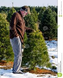 man looking at trees at a tree farm stock images image 35697204