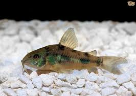 Types Of Aquarium Fish Best Bottom Feeders For Your Fish Tank Pets4homes