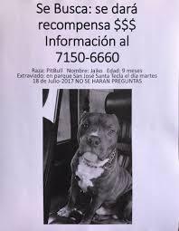 american pitbull terrier 9 meses la prensa gráfica on twitter