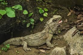 native plants to new zealand tuatara the three eyed baby dragon of new zealand earth archives