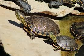 Ringed Map Turtle D U0027orbigny U0027s Slider Wikiwand