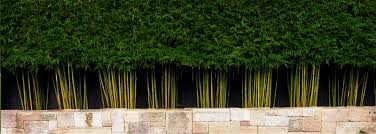 image of live bamboo fence garden pinterest bamboo plants