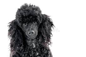 poodles long hair in winter black poodle in snow stock image image of color motion 84288107