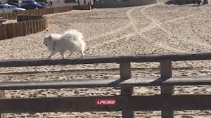 american eskimo dog small small white dog balancing act youtube