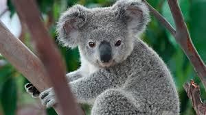 imagenes animales australia australia indignante caso de maltrato animal contra un koala