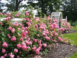 family home and garden rose gardens google search garden pinterest rose bush