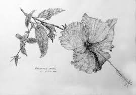 hibiscus rosa sinenis pencil drawing live in symbiosis