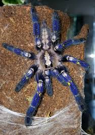 the world s best photos of metallica and poecilotheria flickr